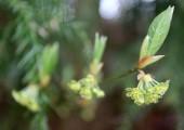 <インフル予防に効果あり!話題の植物「クロモジ」で風邪症状も軽減!?